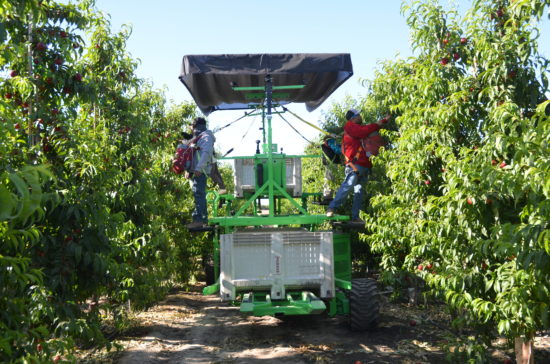 Nectarine harvest at HMC Farms using new ag technology: platform equipment