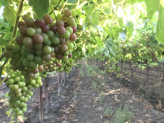Veraison in HMC Farms table grapes, grape color is changing from green to red