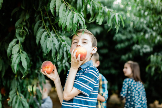 Boy bites into a freshly picked peach in an orchard at HMC Farms