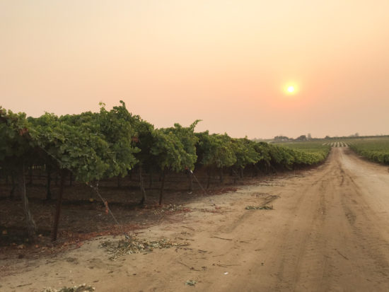 Grape vineyard with smoky sky from wildfires in California