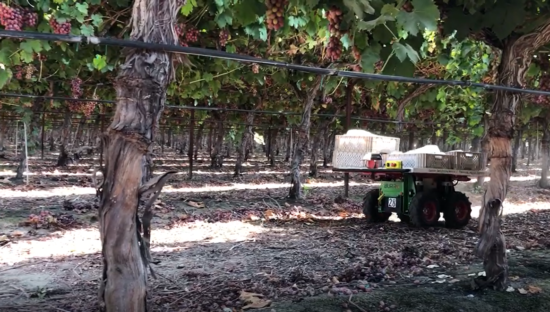 Self-driving cart carrying grape bins through vineyard