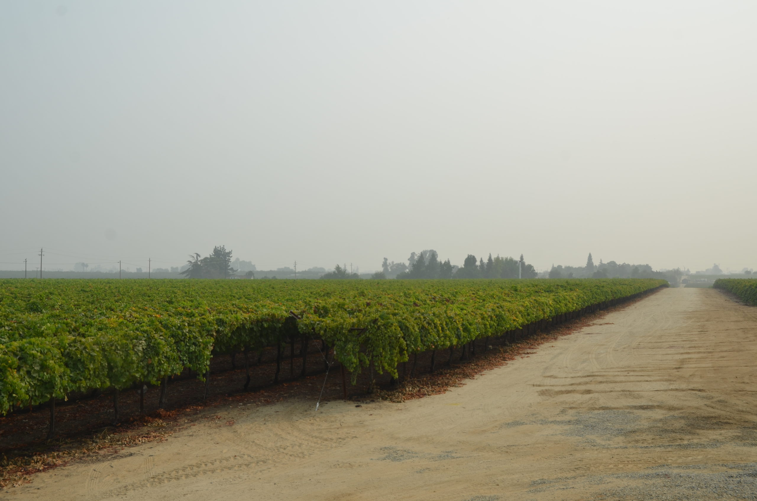 grape vineyard at HMC Farms with smoky sky