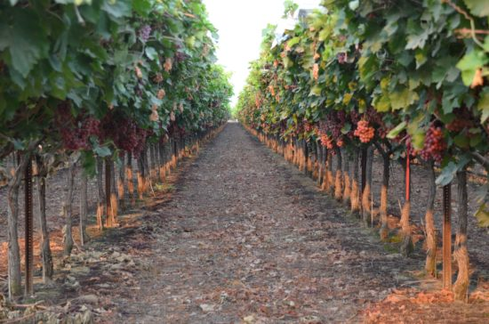 Red grape vineyard