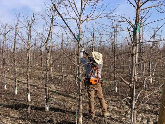Man pruning dormant fruit trees with a pole pruner