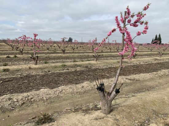 Orchard with fruit trees going through graftin process - stumps with one branch with pink blossoms