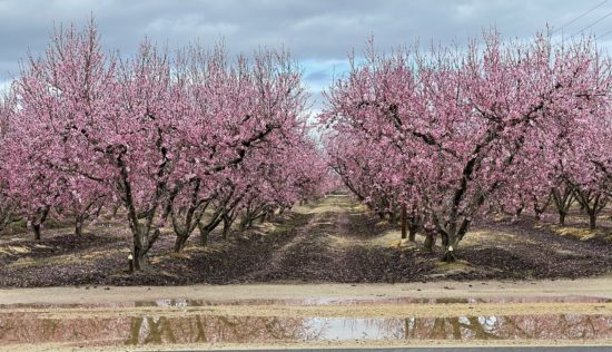 Orchard of fruit trees with pink blossoms, water puddle from rain in the foreground