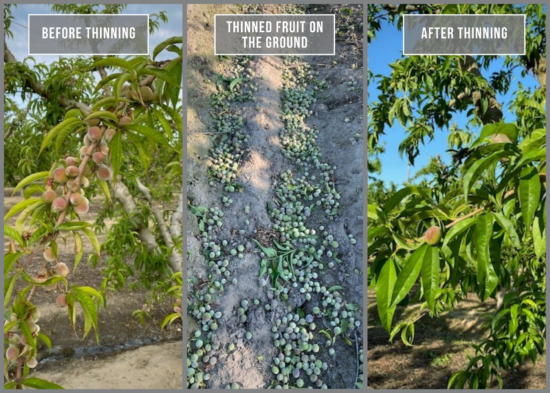 Three photos: one of a peach tree branch with clusters of baby fruit before thinning, another of lots of baby fruit on the ground from thinning, and the third with a peach tree branch after thinning with only one or two pieces of fruit left