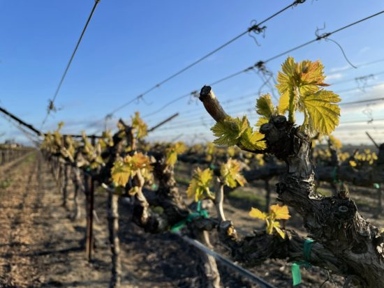 Pruned grape vineyard with green leaves beginning to open up from dormant vines