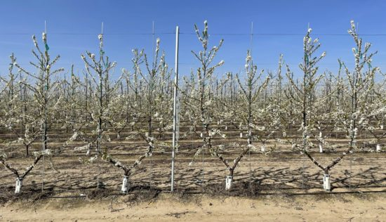 Blooming plum trees in high density planting block - trees are planted close together and supported by a trellis